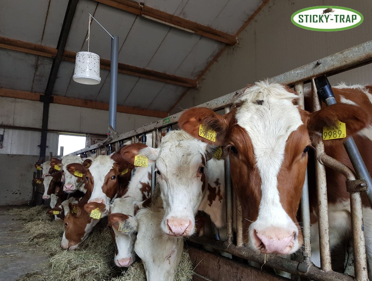 cows and Sticky Trap flytrap glue